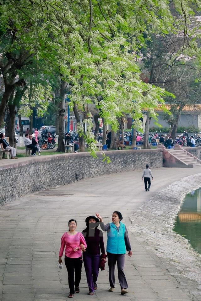 ความสวยงามของดอกประดู่ ในกรุงฮานอย - ảnh 4