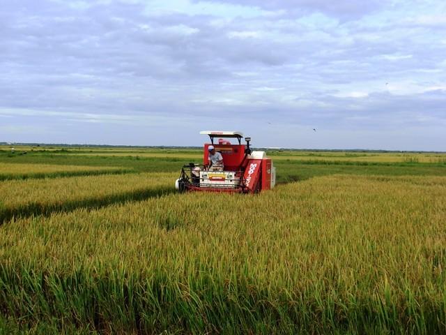 รูปแบบทุ่งนาขนาดใหญ่ในจังหวัดกว๋างบิ่งสร้างประสิทธิภาพในการผลิตการเกษตร - ảnh 1