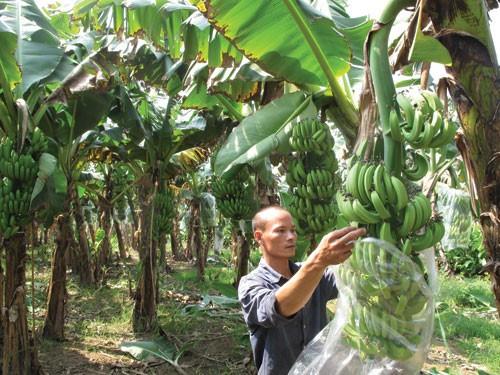เกษตรกรตำบลหวยลวง จังหวัดลายโจว์หลุดพ้นจากความยากจนด้วยการปลูกกล้วย - ảnh 1