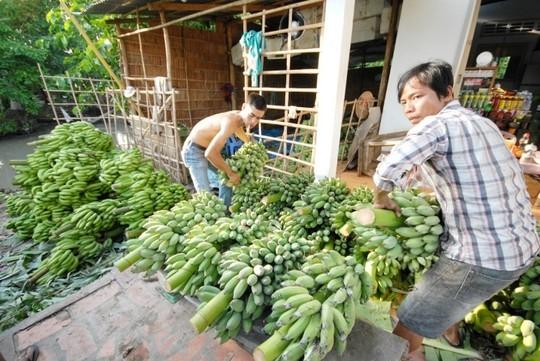 เกษตรกรตำบลหวยลวง จังหวัดลายโจว์หลุดพ้นจากความยากจนด้วยการปลูกกล้วย - ảnh 2