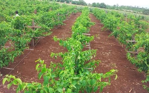 เกษตรกรโด๋แถ่งควาสร้างฐานะจากการปลูกต้นถั่วดาวอินคา - ảnh 1
