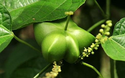 เกษตรกรโด๋แถ่งควาสร้างฐานะจากการปลูกต้นถั่วดาวอินคา - ảnh 2