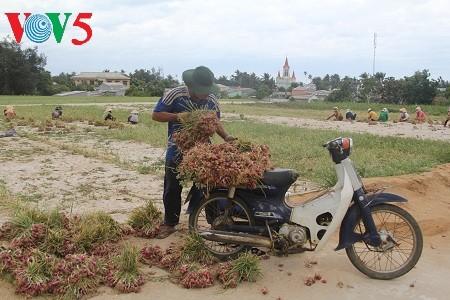 อาชีพการปลูกหอมแดงและกระเทียมบนเกาะลี้เซิน - ảnh 2