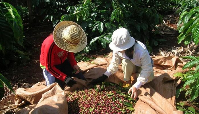 提高咖啡价值和发展西原经济区 - ảnh 2