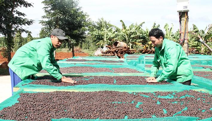 提高咖啡价值和发展西原经济区 - ảnh 1