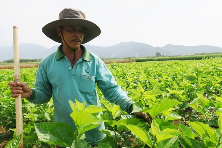 เกษตรกรมีรายได้สูงเนื่องจากการปลูกหม่อนเลี้ยงไหม - ảnh 2