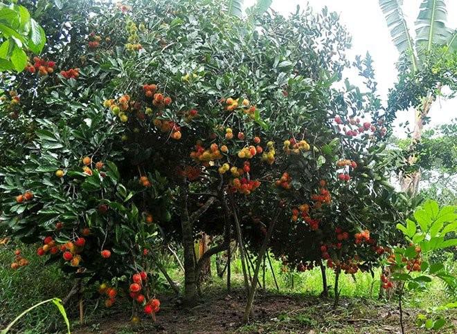Vàm Xáng fruit garden in Cần Thơ - ảnh 1