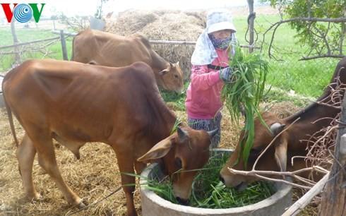 Ninh Thuan entwickelt die Tierzucht nachhaltig - ảnh 1