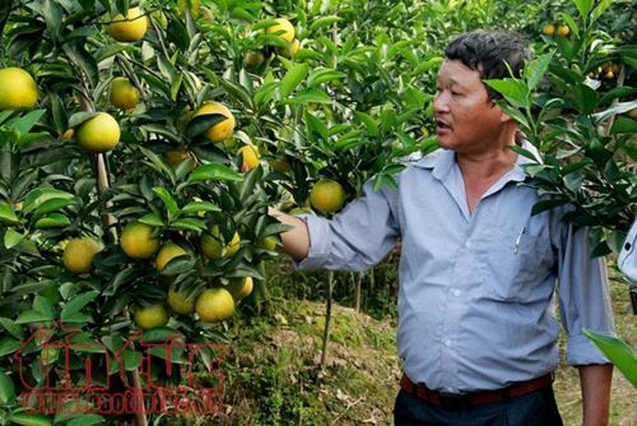 Süßer Geschmack von Orangen aus Hung Yen - ảnh 1