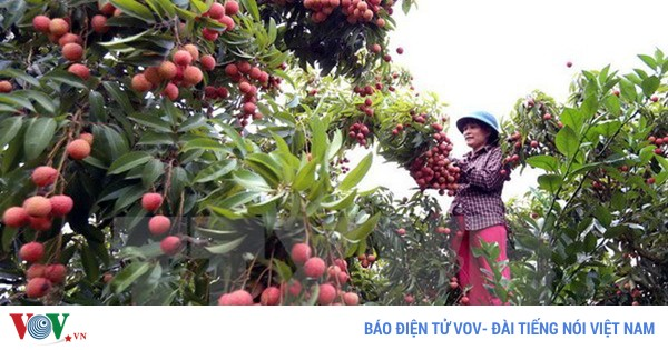 Vietnam becomes world's second largest lychee exporter  - ảnh 1