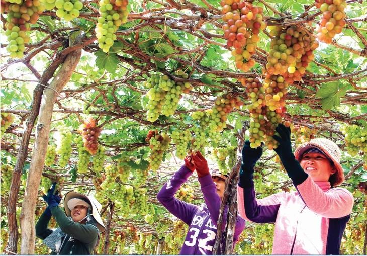 เทศกาลองุ่นและไวน์ นิงห์ถวน -ไฮไลต์ของการท่องเที่ยวนิงห์ถวนปี2019 - ảnh 2