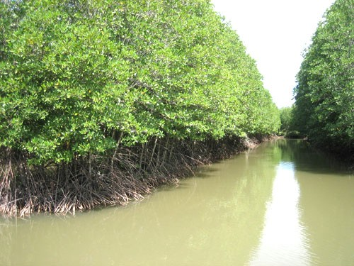"""共同管理红树林有助于恢复沿海绿色""""屏障"""" - ảnh 1"""