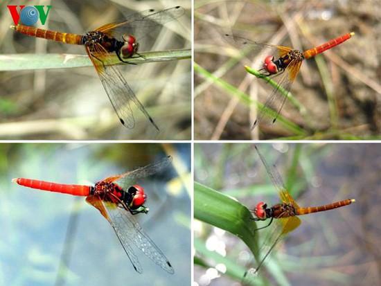Einzigartige Heide-Libellen in Zentralvietnam - ảnh 1