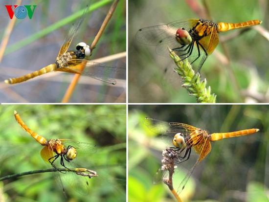 Einzigartige Heide-Libellen in Zentralvietnam - ảnh 3