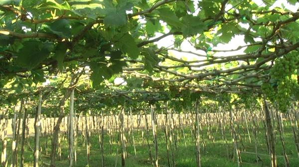 Die Provinz Ninh Thuan verbindet Weinbau mit der touristischen Entwicklung - ảnh 1