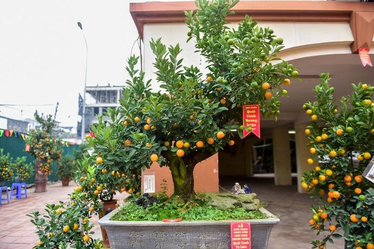 Verleih von Pfirsich- und Kumquat zum Tetfest - ảnh 1