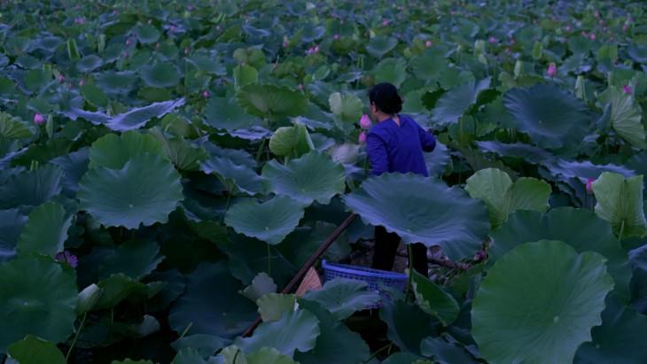 Aroma von Lotusblüten im Tee - ảnh 1