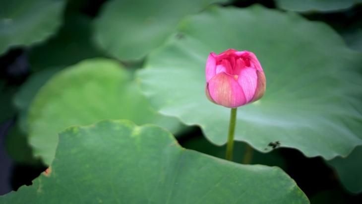 Aroma von Lotusblüten im Tee - ảnh 5