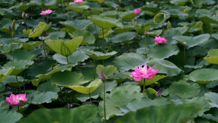 Aroma von Lotusblüten im Tee - ảnh 6