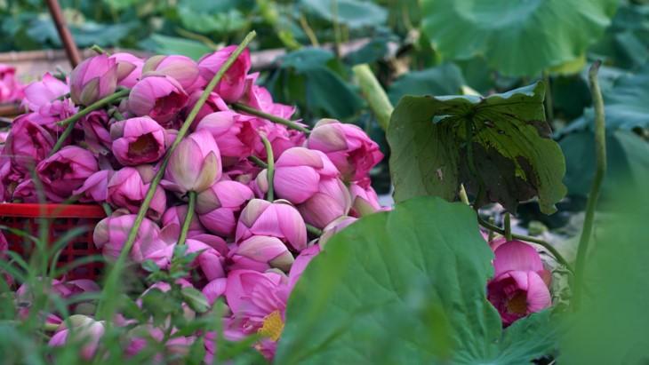 Aroma von Lotusblüten im Tee - ảnh 9