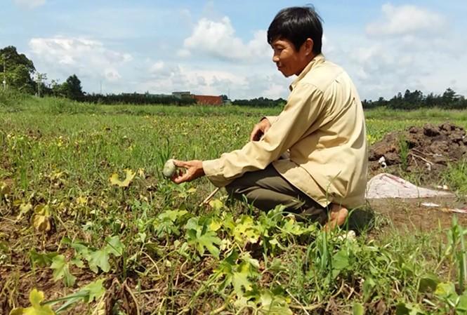 Seguro agrícola – tabla de salvación los cultivadores vietnamitas - ảnh 1