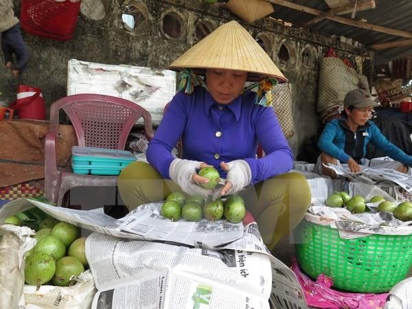 Vietnam exportará primer lote de caimito a Estados Unidos - ảnh 1
