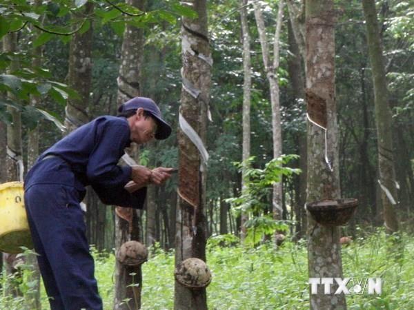 Mantienen la tendencia alcista de exportación vietnamita de caucho - ảnh 1