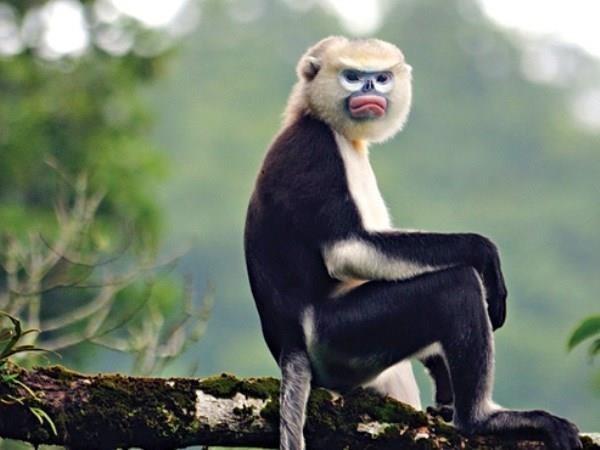 하지앙 (Hà Giang) 성, 들창코원숭이 보존 홍보 강화 - ảnh 1