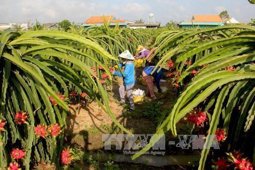 Вьетнам экспортировал первую партию свежих драконьих фруктов питайя в Австралию  - ảnh 1