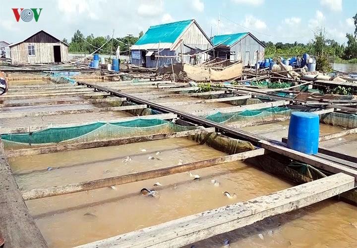О миллиардере Бай Боне, который успешно разводит рыбу садковым способом на реке Хау - ảnh 1