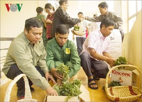 Жителям провинции Контум было передано 46.500 саженцев женьшеня «Нгоклинь» - ảnh 1