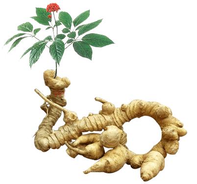 베트남 인삼 홍보 - ảnh 1