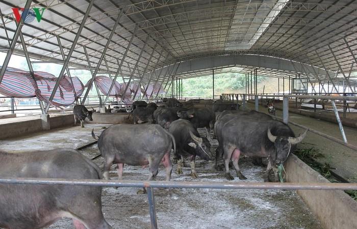 Mô hình nông nghiệp sạch lớn nhất tỉnh Yên Bái - ảnh 2