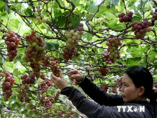В провинции Ниньтхуан состоится международный винный фестиваль - ảnh 1