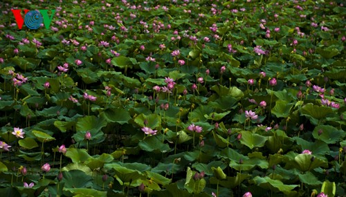 Приезжаем в Хюэ полюбоваться цветами лотоса - ảnh 1