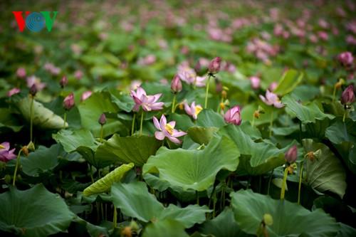 Приезжаем в Хюэ полюбоваться цветами лотоса - ảnh 2