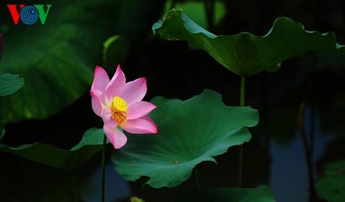 Приезжаем в Хюэ полюбоваться цветами лотоса - ảnh 4