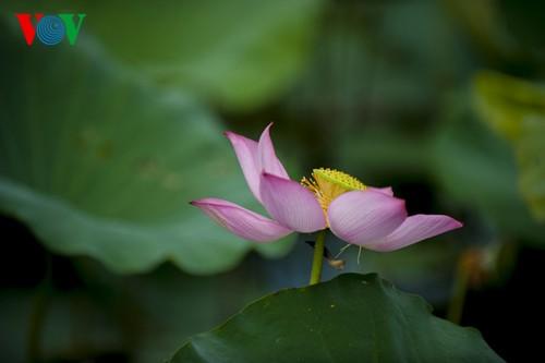 Приезжаем в Хюэ полюбоваться цветами лотоса - ảnh 6