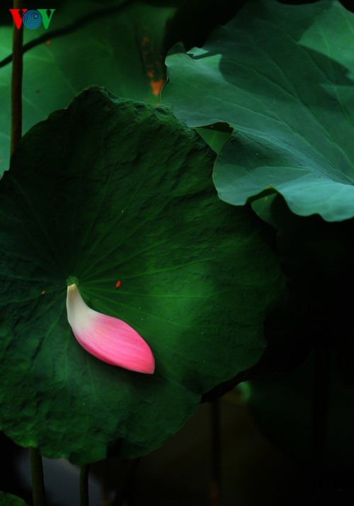 Приезжаем в Хюэ полюбоваться цветами лотоса - ảnh 7