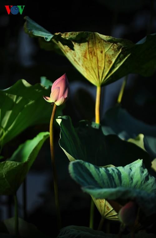 Приезжаем в Хюэ полюбоваться цветами лотоса - ảnh 8