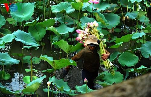 Приезжаем в Хюэ полюбоваться цветами лотоса - ảnh 10