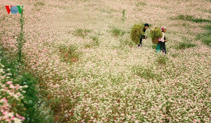 Красота цветков гречихи в горных районах Вьетнама - ảnh 2