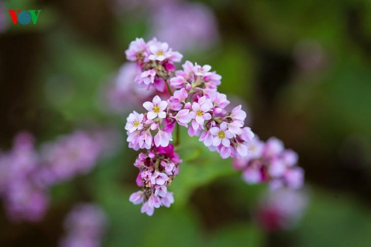 Красота цветков гречихи в горных районах Вьетнама - ảnh 6