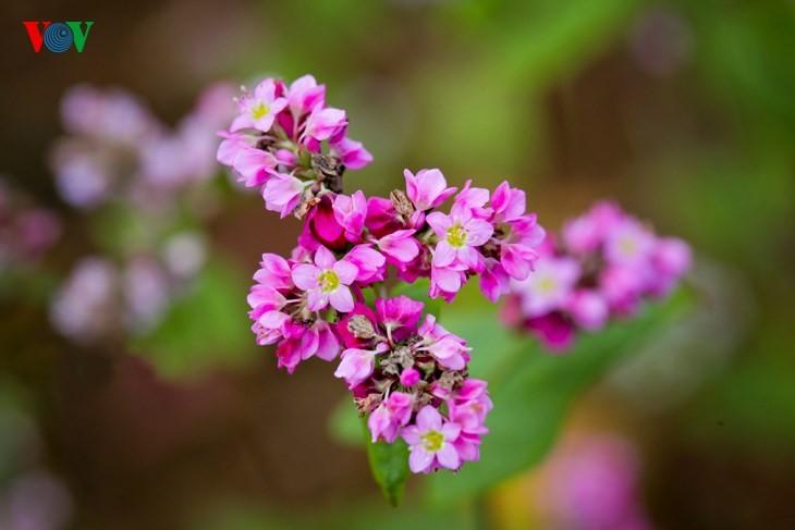 Красота цветков гречихи в горных районах Вьетнама - ảnh 8