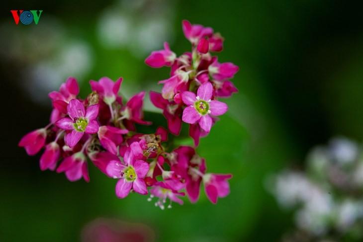 Красота цветков гречихи в горных районах Вьетнама - ảnh 9