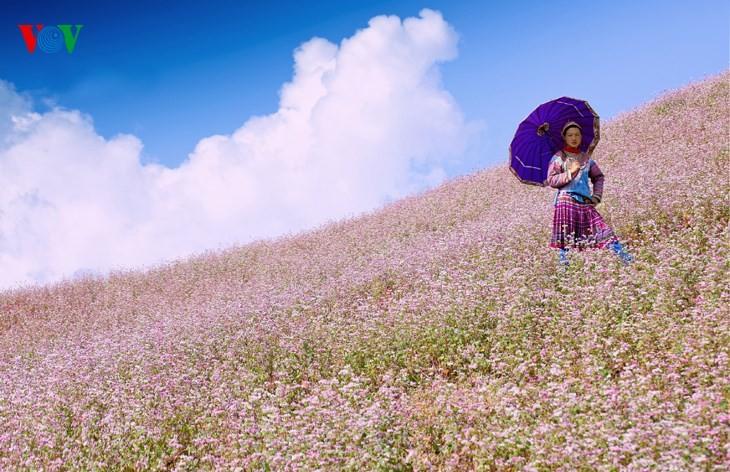 Красота цветков гречихи в горных районах Вьетнама - ảnh 14