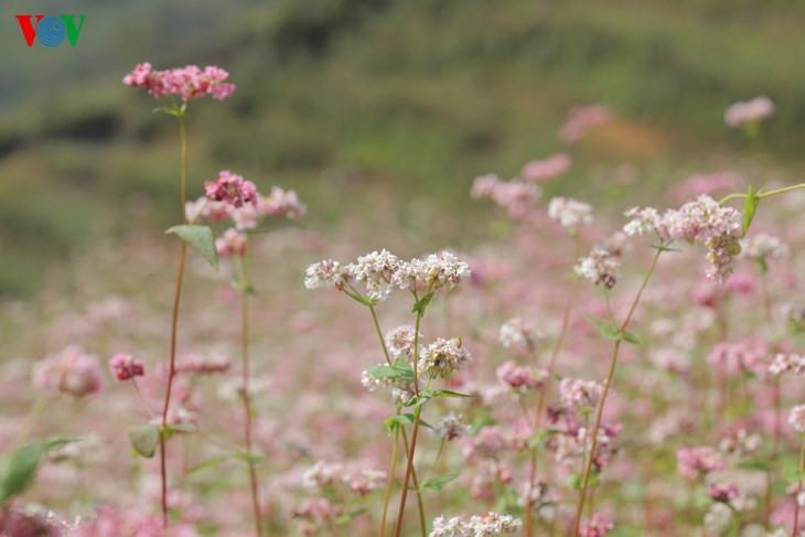 Красота цветков гречихи в горных районах Вьетнама - ảnh 16