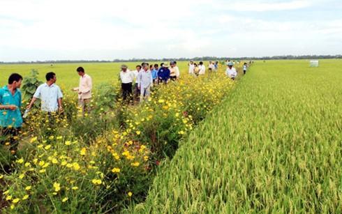 Выращивание цветов вокруг рисовых полей способствует устойчивому развитию сельского хозяйства - ảnh 1