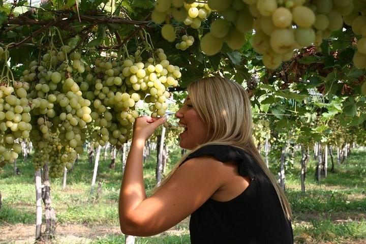 Ниньтхуан применяет модель больших полей по выращиванию винограда в сочетании с развитием туризма - ảnh 2