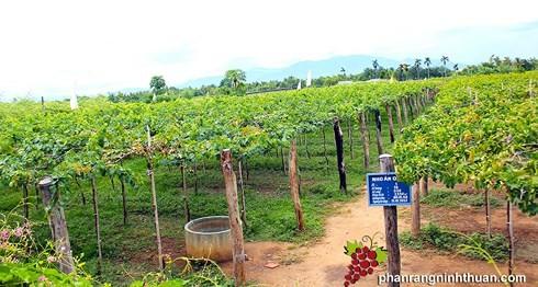 Ниньтхуан применяет модель больших полей по выращиванию винограда в сочетании с развитием туризма - ảnh 1